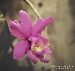 orqudea 5264 ch (Emilio Segura Lpez) Tags: mxico flor magenta yucatn orqudea mrida morada