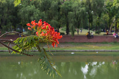 The Point (Zahid - Thanks for the views ,Favs and comments) Tags: flowers red summer lake plant flower reflection tree green water point landscape blossom outdoor bricks couples meeting lovers depthoffield foliage peoples dhaka bud lovely crescentlake meetingpoint afternoot ziauddan royalpionciana