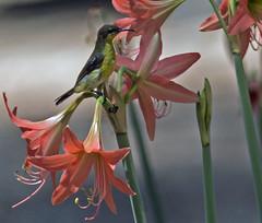 IMG_9466 Olive-backed Sunbird (suebmtl) Tags: thailand songbird phangnga olivebackedsunbird nectariniajugularis kohphrathong