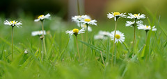 Worm's eye view (SteveJM2009) Tags: uk grass daisies spring dof bokeh pov lawn may dorset bournemouth turf stevemaskell 2016 explored naturethroughthelens