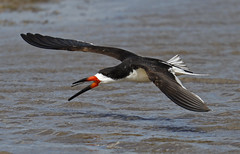 Black Skimmer tossing a freshly caught stick (Mawrter) Tags: wild playing motion bird nature water canon fun outdoors fly flying newjersey wings afternoon play action outdoor wildlife birding flight wing nj toss stick avian forsythe skimmer blackskimmer forsythenwr specanimal outspread