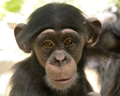 A Portrait of Milo (018995) (Mike S Perkins) Tags: kansascityzoo chimp chimpanzee portrait baby inflant male cute adorable sweet pantroglodytes