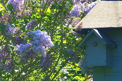 Blue Tit Nesting Box (marieamos79) Tags: park flowers blue sunlight garden spring tit feeding box chicks nesting wirral walled royden
