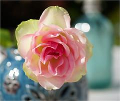 the rose.......... (atsjebosma) Tags: light macro rose licht bokeh may nederland thenetherlands roos groningen 2016 atsjebosma