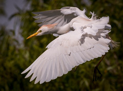 Cattle Egret, Polk County, FL [Explore 5 May 2016] (Blackrock23) Tags: florida egret cattleegret nikond500 nikon300mmpf