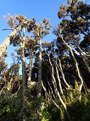 Open rimu forest on the Loop Track (dracophylla) Tags: newzealand rimu podocarpaceae dacrydiumcupressinum codfishisland whenauhoa