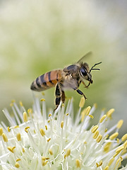 Honeybee Take off over the leek flora (Johnnie Shene Photography(Thanks, 2Million+ Views)) Tags: wild people plant blur flower colour macro nature floral animal vertical closeup canon bug insect lens photography eos rebel living fly flying still wings flora focus scenery kiss natural image outdoor no background wildlife watching flight scenic tranquility scene 11 full bee theme midair limbs magnified flapping length tamron 90mm leek takeoff honeybee f28 tranquil adjustment freshness stationary foreground t3i x5 organism behaviour 비행 fragility 접사 600d 벌 꿀벌 매크로 파꽃