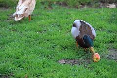 IMG_9568 (Bruno Sangiovanni) Tags: naturaleza color green nature animal duck eating pasto pato colourful comiendo colorido
