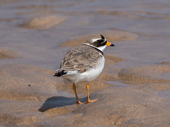 Ringed Plover (Maria-H) Tags: uk england unitedkingdom panasonic northumberland gb ringedplover beadnellbay charadriushiaticula 100400 gh4 dmcgh4