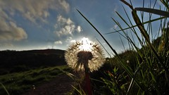 Dandelion sunset (McArdle's5) Tags: sunset sky grass weather outdoors spring hiking dandelion hillside undergrowth
