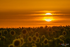 Entre soles. (Antonio Camelo) Tags: sunset sky naturaleza sun sol nature night noche landscapes photo nikon sunflower naranja girasol