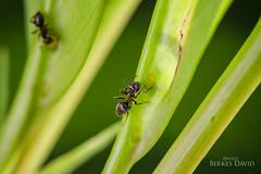 Ants (DavDesign: David Berkes) Tags: nature hungary ant magyar dav berkes dvid rovar bogr makr hangya davdesign wwwdavdesignhu