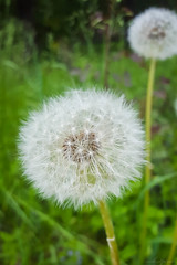 Blowball (Velvet Pines) Tags: nature photography spring samsung
