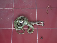 pigging out (the foreign photographer - ) Tags: our house thailand snake bangkok sony porch non swallowing tokay bangkhen rx100 poisonnous dscjun112016sony
