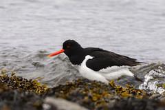 tjeld-#10 (knutmsa) Tags: birds sport norway seaside nikon sigma haematopus ostralegus 150600mm d800e sigma150600mmf563dgoshsmsport