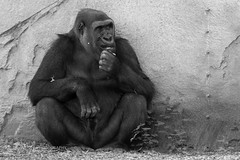 Hungry Gorilla (J.P. Lawrence Photography) Tags: australia 2016 vertebrates hominidae gorilla mammals spring new south wales primates taronga zoo sydney travel ape apes australia2016 gorillagorilla greatape greatapes nsw newsouthwales primate spring2016 tarongazoo vertebrata vertebrate