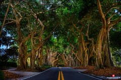 Florida Life: Beneath A Canopy Of Trees (Thncher Photography) Tags: trees nature forest landscape outdoors florida sony scenic stuart fullframe fx portsalerno treecanopy hobesound banyantrees palmcity southeastflorida zeissfe35mmf28za a7r2 ilce7rm2 sonya7r2 sestlucieboulevard
