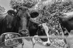 cow watching (loop_oh) Tags: uk greatbritain kuh cow nationalpark unitedkingdom bull tier khe herde
