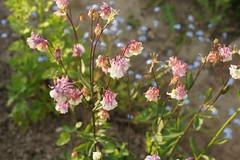 Akeleien (ebien) Tags: garden spring allotment garten frhling kleingarten schrebergarten frhblher frhlingsblume gardenplot