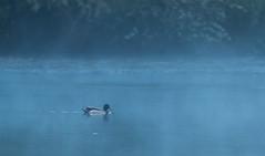 Foggy duck (Eric Penet) Tags: wild france bird nature animal duck wildlife mai marais printemps oiseau canard sauvage faune colvert pasdecalais saintomer mle romelare