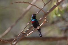 Shining Sunbird at Wadi Darbat S24A8499 (grebberg) Tags: male bird march oman sunbird 2016 dhofar wadidarbat cinnyris cinnyrishabessinicus shiningsunbird
