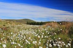 Cotton Grass Fields, Badbea, Scotland (ash_russell) Tags: scotland highlands sutherland caithness cottongrass badbea