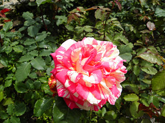 Rose in Balchik botanical garden, Bulgaria (cod_gabriel) Tags: rose dof bokeh depthoffield bulgaria jardimbotnico botanicalgarden hortusbotanicus bulgarie shallowdepthoffield jardnbotnico balchik shallowdof  ortobotanico botanischergarten shallowfocus bulgarije bulgarien dobrudja bulgaristan bugarska balcic  balcsik  bugaria dobrogea trandafir dobroudja   ogrdbotaniczny   cadrilater bulgria botanisktrdgrd grdinabotanic botanikbahesi    dobruda dobruca dobruja  dobruda   balik balchikbotanicalgarden    dobrudzsa dobrugia dobroedzja dobrudzja   grdinbotanic   baczik baltsjik  kebunbotani bulgarianriviera baltik  gradinabotanicabalcic