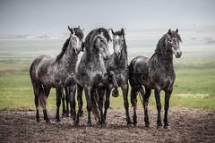 Boys will be boys (giulia_basaglia) Tags: horse rain cheval spain pasture pferde stallion spanishhorse
