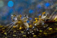 little things. (ASPphotographic) Tags: macro water droplets bokeh waterdrops macrophotography dandelionseed
