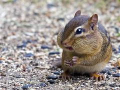 Chipmunk (Brian E Kushner) Tags: animals ed newjersey backyard nikon squirrel wildlife chipmunk nikkor vr afs d500 audubon backyardanimals 200500mm nikond500 audubonnj bkushner f56e ©brianekushner nikonafsnikkor200500mmf56eedvr
