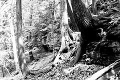 Roots (joeldinda) Tags: blackandwhite bw tree monochrome nikon michigan may roots parks shadowplay lightandshadow v2 grandledge 2016 fitzgeraldpark eatoncounty 3137 1v2 nikon1v2