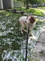 Dottie after the hail storm (f l a m i n g o) Tags: dog pet hail ground dottie 19276