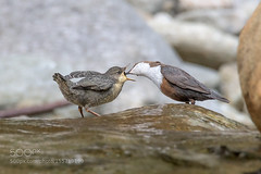 The tireless dipper mum (tycampbe) Tags: italy birds river european feeding young prey roberto dipper whitethroated melotti cinclus 500px ifttt