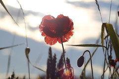 in the middle of life (Xtraphoto) Tags: morning light red sun flower rot against licht early bokeh poppy blume gegenlicht mohn frh mohnblume morgenlicht