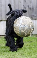 Trotting (bigbluewolf) Tags: dog pet pets black dogs ball garden fun 50mm nikon may schnauzer standard standardschnauzer schnauzers d7000
