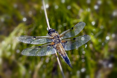 Photo of Four Spotted Chaser - Llangloffan Fen - Pembrokeshire.
