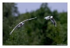 _41A6238 copy (Creeping Mac Kroki) Tags: bird nature birds landscape cow duck vogels ducks fox polder meeuw eend kievit reiger vogel koe witte vos eenden bazel lepelaar waterhoen nijlgans scholekster kwikstaart bergeend kluut visdief aalschover kruibe