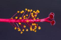 Pistil of an Hibiscus (_Alejandro Jos) Tags: plant flower macro planta flor 11 pistil tokina hibiscus hibisco pistilo tokinamacro100mmf28