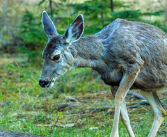 mule deer - banf NP, canada (AB) (Russell Scott Images) Tags: canada mountains rocky ab canadian alberta banff banffnationalpark muledeerodocoileushemionus