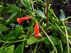 Ruellia brevifolia 5 (heinvanwinkel) Tags: amsterdam december nederland acanthaceae hortus 2015 ruellia magnoliidae brevifolia lamiales spermatophyta tracheophyta euphyllophyta acanthoideae ruellieae pingodesangue lamianae bloemvandedag lamiineae
