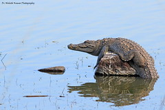 I ain't Lazy! I am on Energy saving mode.. (Dr. Nishith Kumar Photography) Tags: drnishithkumarphotography nishith animalplanet nationalgeographic crocodile mugger muggercrocodile indiancrocodile vulnerablespecies crocodyluspalustris freshwater lake ranthamboretigersanctuary ranthamborenationalpark ranthamboreindecember ranthamborezone3 ranthambore rajasthan india canon canon60d sigma150500 sigma150500mm drnishith water basking nationalgeographicworldwide wildlife wildlifesafari indianwildlife safari