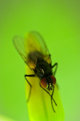 29052016072 (davesnothere11) Tags: red macro green eye up fly close