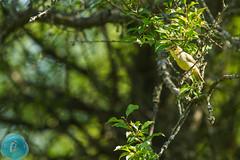 Summer at our garden hide... (_alcedo_) Tags: summer nature birds gardenofeden workshop lithuania biodiversity songbirds migrant breeder passerines hippolaisicterina icterinewarbler borisbelchev hidephotography wwwalcedowildlifecom june2016 hidenr3 kintaibirdingparadise birdwatchinglithuania