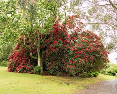 Day 6 09 Logan Botanic Garden red bush (bob watt) Tags: uk plants flower june canon scotland 7d 2016 18135mm loganbotanicgarden canoneos7d kirkcudbrightholidayjune2016
