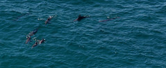 dolphins 2 (doctor pedro) Tags: ocean blue animals australia dolphins newsouthwales capebyron