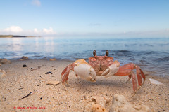 Ghost crab - Nagahama beach, Okinawa (Okinawa Nature Photography) Tags: canonoutdoors canon1018mmstm canon70d shawnmmillerphotography okinawanaturephotography crabsofjapan crustaceans beachphotography beachcrabsinokinawa ghostcrabs diffusedlight nagahama ryukyuislands