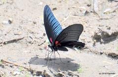 DSC_0164 (rachidH) Tags: nepal lake nature butterflies insects few pokhara phewa papillons papiliohelenus redhelenbutterfly rachidh