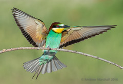 European bee eater, Merops apiaster (Gowild@freeuk.com) Tags: wild bird nature birds animal insect spread wings rainbow spain nikon europe european outdoor wildlife flight feathers multicoloured catalonia bee exotic beeeater plumage meropsapiaster coour andrewmarshall