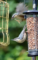 Nuthatch (155) (John Carson Essex R.I.P. John and thank you for be) Tags: thegalaxy supersix rainbowofnature thegalaxystars