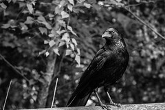 50/100x - Carrion Crow (Nomis.) Tags: canon eos 700d t5i rebel canon700d canoneos700d rebelt5i canonrebelt5i monochrome mono bw blackandwhite 100x 100xthe2016edition 100x2016 image50100 sk201605267762raweditlr sk201605267762 raw lightroom reddishvalecountrypark reddish vale country park reddishvale bird crow carrioncrow carrion corvid